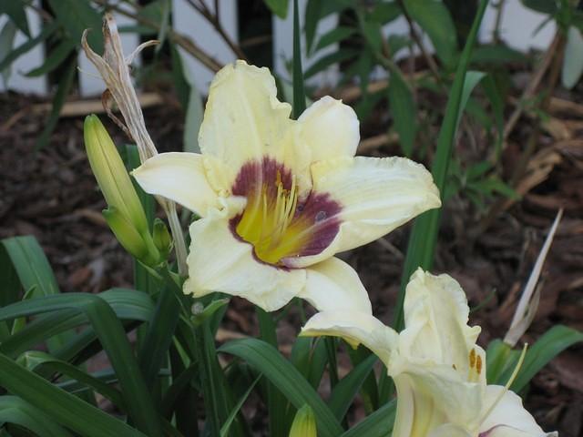 daylily - black-eyed stella